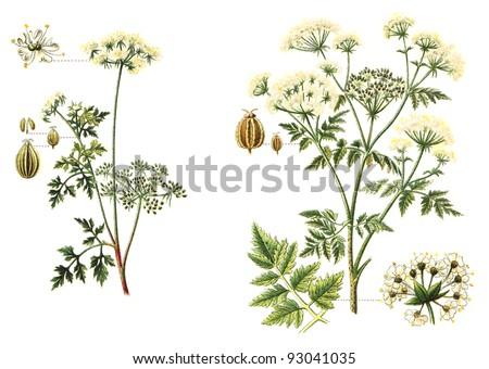 left Garden Hemlock (Aethusa Cynapium) and right Poison Hemlock (Conium maculatum) - poisonous plants / vintage illustration from Meyers Konversations-Lexikon 1897 - stock photo