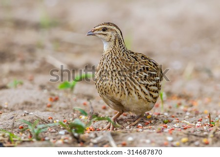 Left side of Rain Quail (Coturnix coromandelica) standing and stair at us in nature in Thailand
