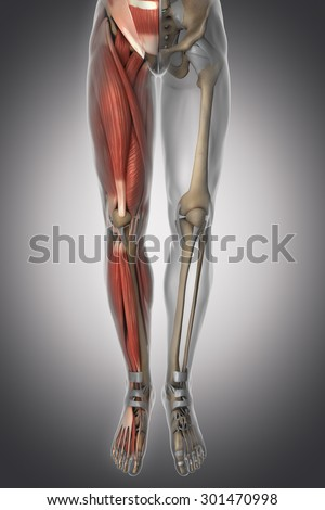 Leg anatomy - muscle, bone, cartilage, ligament - stock photo