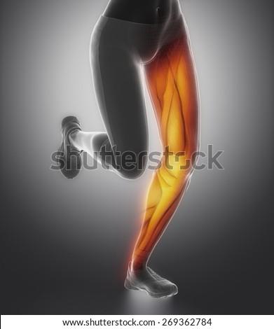 LEg female muscle anatomy - stock photo