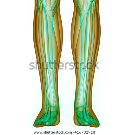 Leg Joints with Muscles. 3D - stock photo