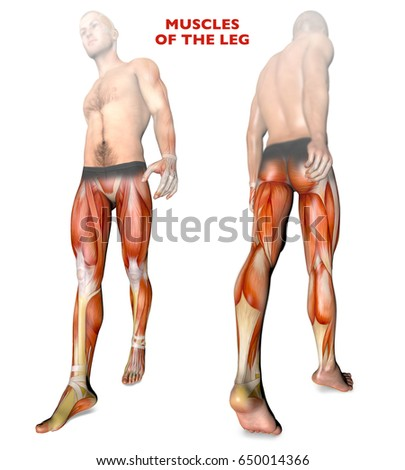 Leg Muscles Human Body Anatomy Muscle Stock Illustration 650014366