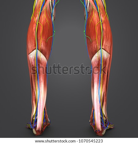 Legs muscle anatomy arteries veins nerves stock illustration legs muscle anatomy with arteries veins nerves and lymph nodes posterior view 3d illustration ccuart Image collections