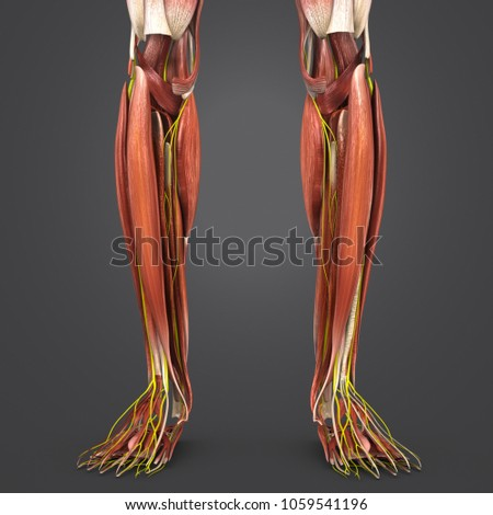 Legs Muscle Anatomy Nerves Anterior View Stock Illustration