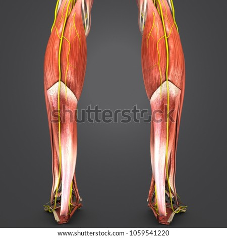 Legs muscle anatomy nerves posterior view stock illustration legs muscle anatomy with nerves posterior view 3d illustration ccuart Gallery