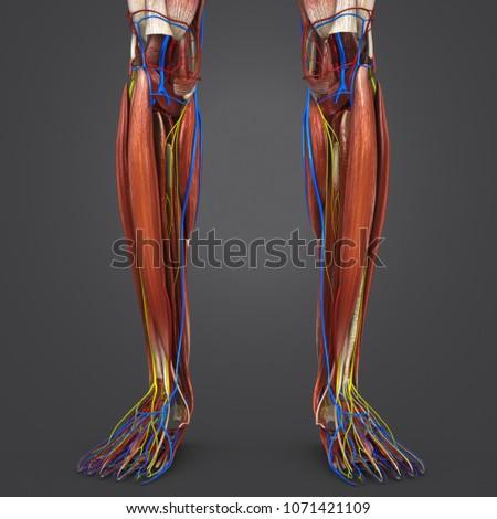 Legs Muscles Anatomy Arteries Veins Nerves Stock Illustration ...