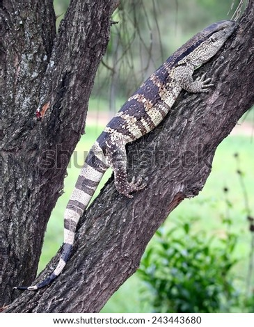 Leguaan or water monitor climbing on a tree branch - stock photo