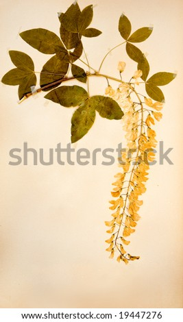 Leguminosae, Laburnum Dried pressed flower from early 1920's - stock photo