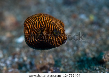Lembeh Strait off the northeastern tip of Sulawesi Island is home to some of the most unique marine creatures on Earth such as this juvenile Star Pufferfish (Arothron stellatus). - stock photo
