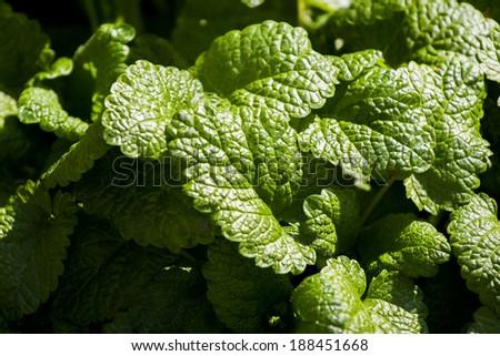 Lemon balm (Melissa officinalis) leaves textures - stock photo