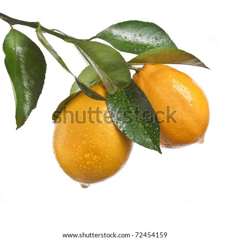 Lemon branch handing  isolated on a white background - stock photo