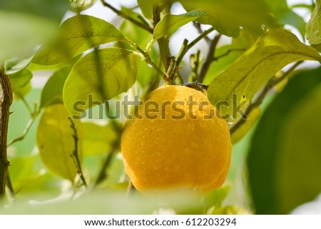Lemon Citrus on Tree in spring and summer
