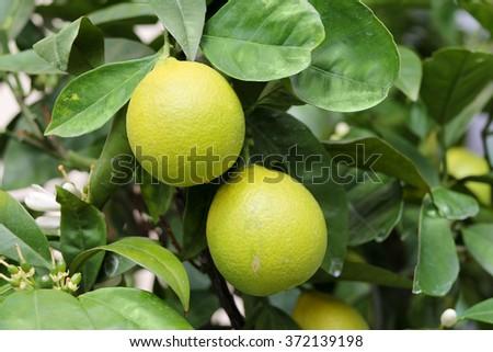 Lemon fruits on the tree - stock photo