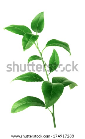 Lemon green leaves isolated on a white background  - stock photo