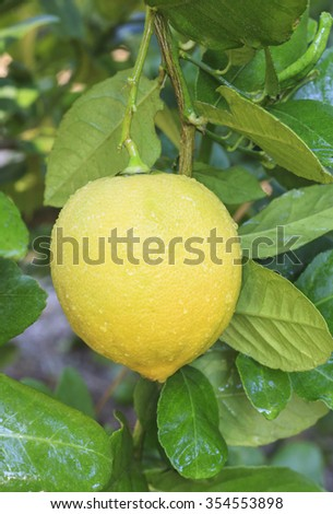 lemon hanging on lemons tree.