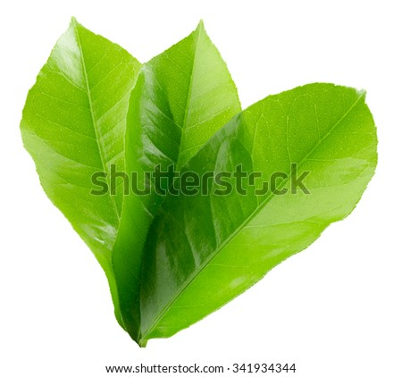 lemon leaves isolated on the white background