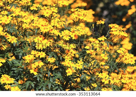 Lemon Marigold,many beautiful yellow flowers blooming in the garden in autumn,Mexican Bush Marigold,Copper Canyon Daisy  - stock photo