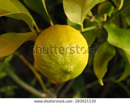 Lemon on a branch in a garden in Melbourne, Australia