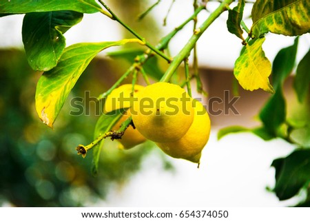 Lemon on the tree in Kemer, Turkey