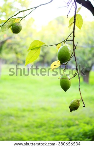 Lemon orchard in the south of Italy - branch with still green lemons on the foreground and fresh green garden on the blurred background - stock photo