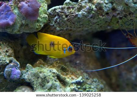 Lemon peel Angelfish One Spot in Saltwater Reef Tank. - stock photo