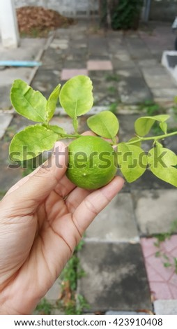 lemon put hand with green le - stock photo