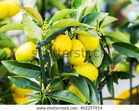 Lemon. Ripe Lemons hanging on a lemon tree. Growing Lemon