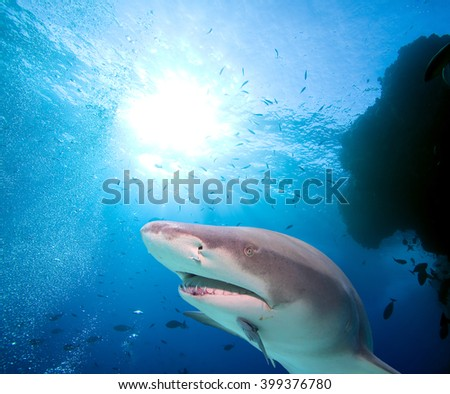 Lemon Shark and school of fish - stock photo