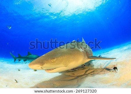 Lemon shark close up with sunbeam in background at Tiger beach, Bahamas - stock photo