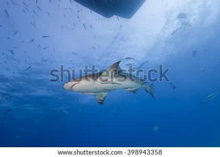 Lemon shark from below in clear blue water. - stock photo