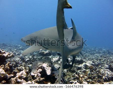Lemon shark, scuba diving Tahiti - stock photo