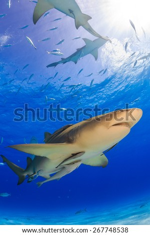 Lemon shark with his remora swimming in the blue water, Tiger beach, Bahamas