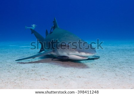 Lemon shark with remoras close to the sand in clear blue water. - stock photo