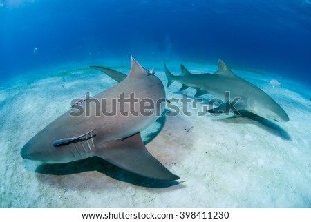 Lemon sharks close to the sand in clear blue water. - stock photo
