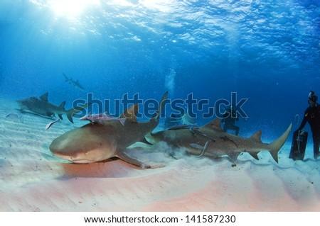 Lemon sharks kicking up some sand for a bite of bait. - stock photo