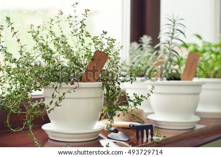 Lemon thyme plant in a flower pot on windowsill. Shallow dof