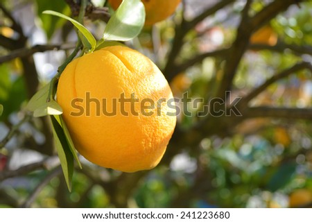 Lemon tree  - stock photo