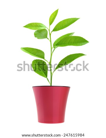 lemon tree in the pot isolated on white - stock photo