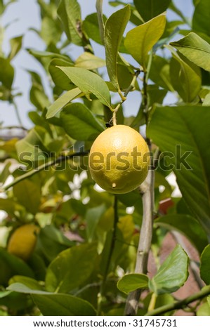 Lemon Tree with Fresh Lemon Hanging in Branch