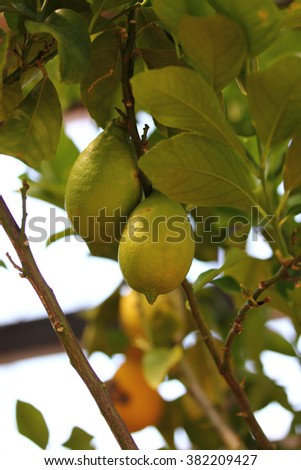 Lemon tree with several mature lemons and green leaves