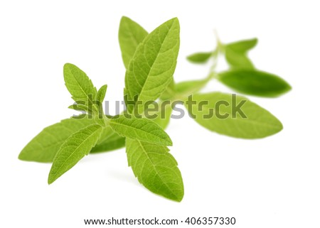 lemon verbena isolated on white background
