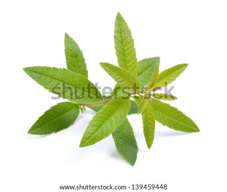 Lemon verbena on white ground - stock photo