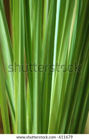 Lemongrass - stock photo