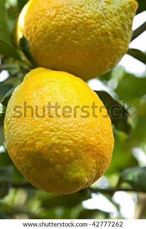 Lemons on a tree.