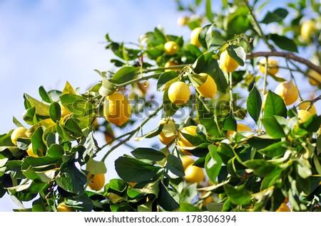 lemons on lemon tree - stock photo