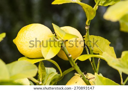 lemons on the branches