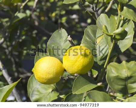 lemons on tree - stock photo