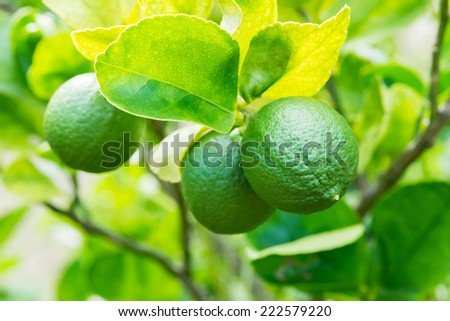 lemons on tree in garden - stock photo