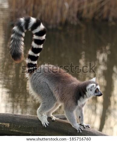 lemur - stock photo