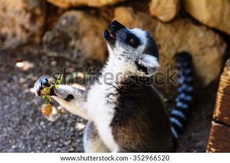 Lemur and grape, Ring-tailed Lemur (Lemur catta) - stock photo